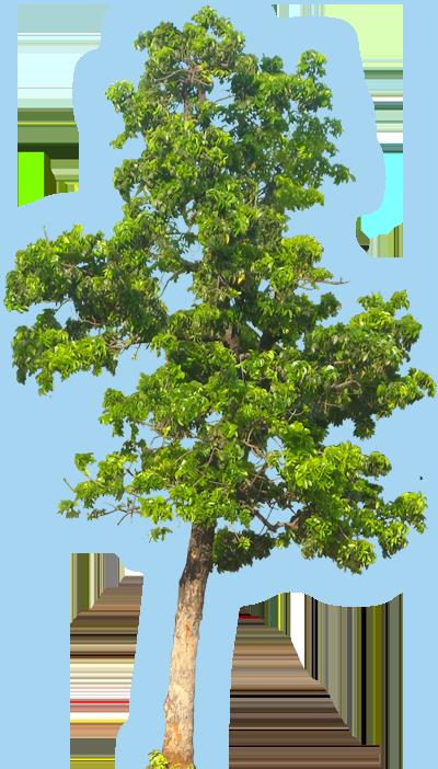 Honduran Mohagany Wood The Tree
